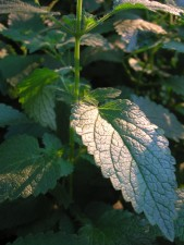 Lemon Balm in late afternoon sun
