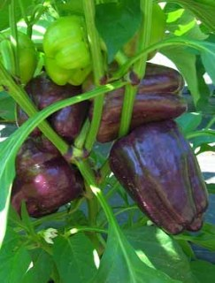 purple-peppers-in-field.jpg