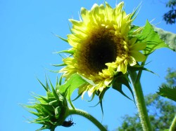 sunflower-against-the-sky.jpg